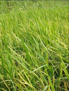 Field infected with rice stripe virus. Photo credit: Y.H. Song