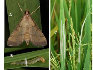 The rice leaf folder – A = Adult; B = Larva; C = Leaf damages it cause.  Photo credit: S. Villareal (IRRI).